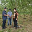 Balai Benih Pertanian Air Pelempang Siap Ditanami Porang